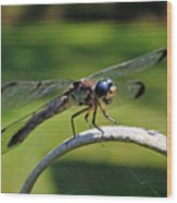 Curious Dragonfly Wood Print