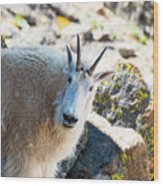 Curious Goat On The Mount Massive Summit Wood Print