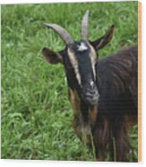 Curious Goat With Very Long Shaggy Fur Wood Print