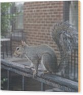 Curious Gray Squirrel  Wood Print