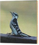 Curious Hairy Woodpecker Wood Print