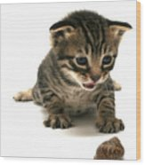 Curious  Kitten Wood Print