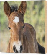 Curious Little Colt  Wood Print