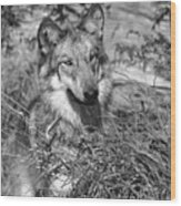 Curious Wolf Pup Wood Print