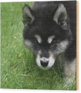 Curiousity Filled Look In The Face Of An Alusky Wood Print