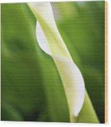 Curled Calla Wood Print
