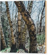 Curved Birch Tree Wood Print