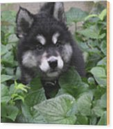 Cute Alusky Puppy In A Bunch Of Plant Foliage Wood Print