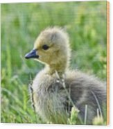 Cute Baby Goose In A Grass Field Wood Print