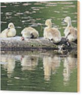 Cute Canadian Geese Chicks Wood Print