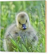 Cute Goose Chick Wood Print