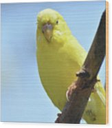 Cute Little Yellow Budgie Bird In Nature Wood Print
