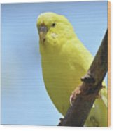 Cute Little Yellow Parakeet In The Rainforest Wood Print