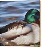 Cute Male Mallard Duck Wood Print