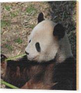Cute Panda Bear Eating A Green Shoot Of Bamboo Wood Print
