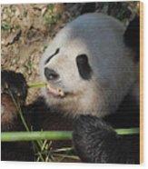 Cute Panda Bear With Very Sharp Teeth Eating Bamboo Wood Print