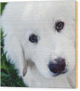 Cute White Puppy Dog Portrait. Polish Tatra Sheepdog Wood Print