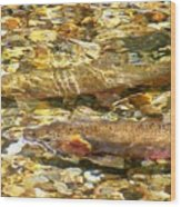 Cutthroat Trout In Clear Mountain Stream Wood Print