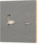 Cygnet Swim Wood Print