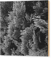 Cypress Branches No.1 Wood Print