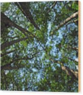 Cypress Tree Canopy Wood Print
