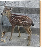 D-a0069 Mule Deer Fawn On Our Property On Sonoma Mountain Wood Print