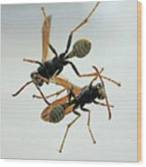 D2b6337 Wasps On Sonoma Mountain Wood Print