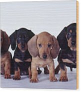 Dachshund Puppies  Wood Print by Carolyn McKeone and Photo Researchers