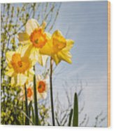 Daffodils Backlit Wood Print