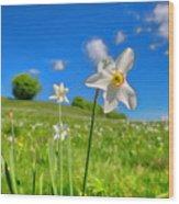 Daffodils Blossimg At Cavalla Plains 2017 II - Fioritura Dei Narcisi Al Pian Della Cavalla 2017 Wood Print