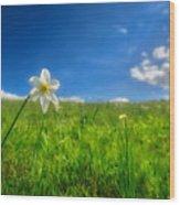 Daffodils Blossimg At Cavalla Plains 2017 Vi - Fioritura Dei Narcisi Al Pian Della Cavalla 2017 Wood Print