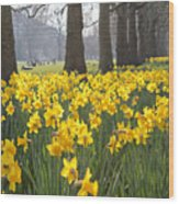 Daffodils In St James Park London Wood Print