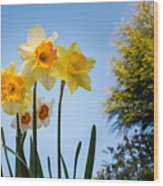 Daffodils In The Sky Wood Print