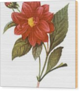 Dahlia (dahlia Pinnata) Wood Print by Granger