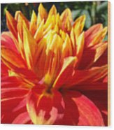 Dahlia Florals Orange Dahlia Flower Art Prints Canvas Wood Print