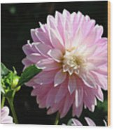 Dahlia Flower Art Pink Dahlias Giclee Art Prints Baslee Troutman Wood Print
