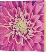 Dahlia Flower Petals Pattern Close-up Wood Print