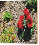 Dahlia Flowers Wood Print by Corey Ford