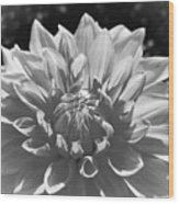 Dahlia In Black And White 2 Wood Print