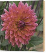 Dahlia In Bloom 19 Wood Print