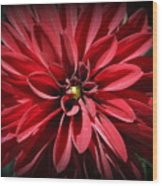 Dahlia Radiant In Red Wood Print