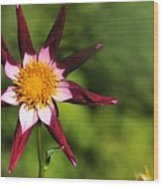 Dahlia Red White And Green Wood Print