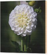 Dahlia White Flowers II Wood Print