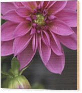 Dahlia With Dew In Pink Wood Print