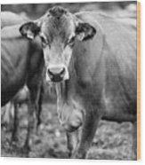 Dairy Cow On A Farm Stowe Vermont Black And White Wood Print