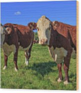 Cattle Andover New Hampshire Wood Print