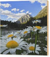 Daisies By Mcdonald Creek With Mt Cannon, Glacier Park Wood Print