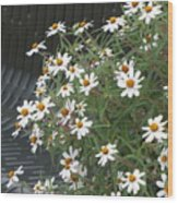 Daisies By The Bench Wood Print