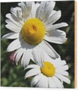Daisies In The Sunshine Wood Print