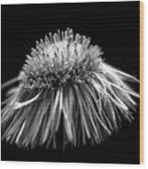 Daisy Flea Bane 0619c Wood Print